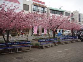 三浦海岸駅、改札前の桜