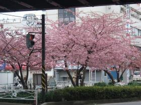 元クリニック前の桜