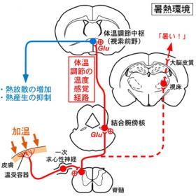 皮膚からの温度情報を伝える神経経路
