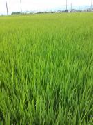 緑の田んぼ