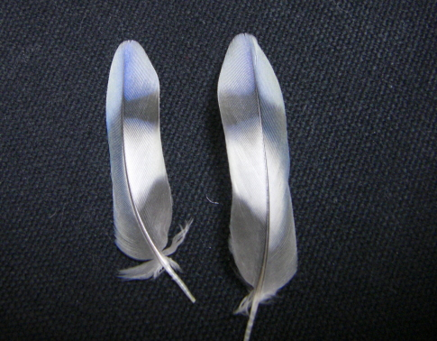 ふちゃんの尾羽