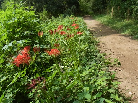 「北本~ヒガンバナの園路」