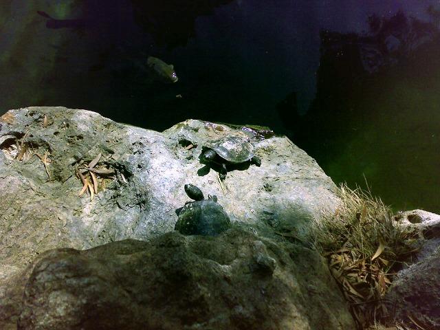 福州園 亀