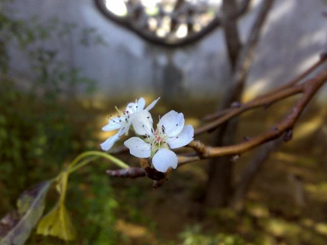 福州園,梨