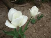 岩手の庭+011_convert_20110426221924