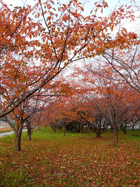 東温市 桜の紅葉 2