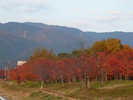 東温市 桜の紅葉 1