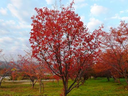 東温市 桜の紅葉 3
