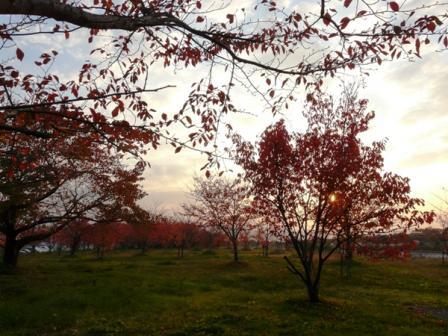 東温市 桜の紅葉と夕景