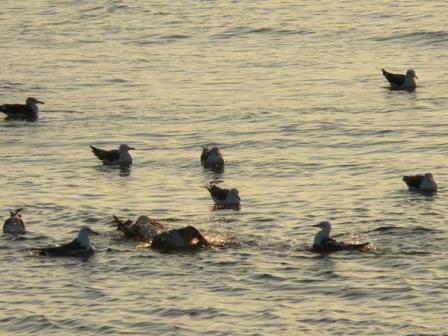 モンチッチ海岸 ウミネコ 1