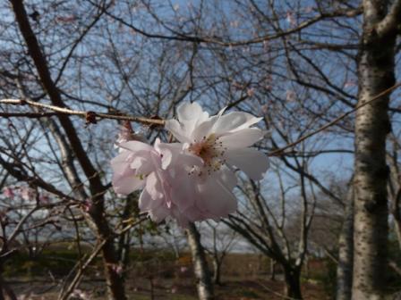 森の交流センター 十月桜