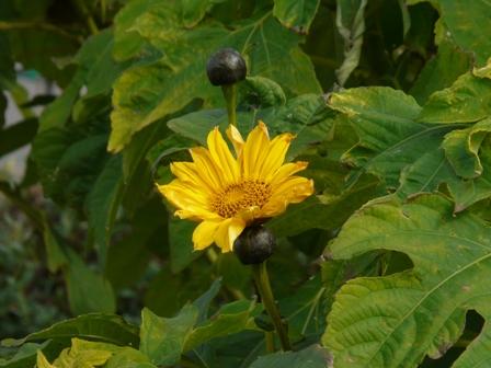 花き研究指導室 ガリバーヒマワリ