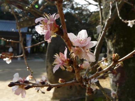 お城山 チクリン桜