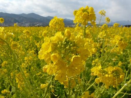 西条 菜の花 3