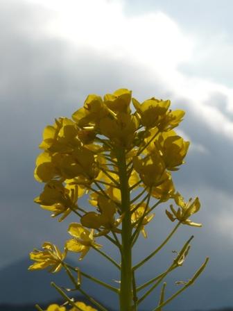 西条 菜の花 4