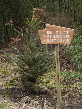 坪尻駅 モミの木