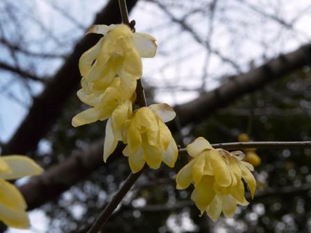 松山総合公園 ソシンロウバイ 2