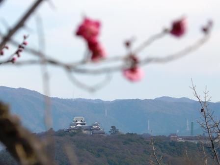 松山総合公園 寒紅梅と松山城