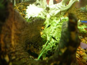 fish baby black