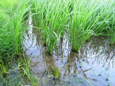 水稲の様子H23.07.20