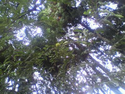 栗の木・・・