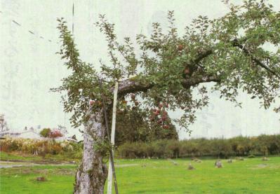 平鹿リンゴ