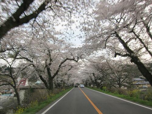 喜連川桜並木1