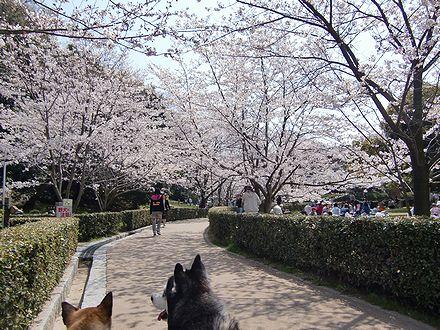 丸亀城内の桜道