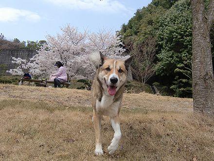 桜とジョン