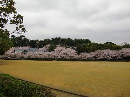 森林公園の桜2