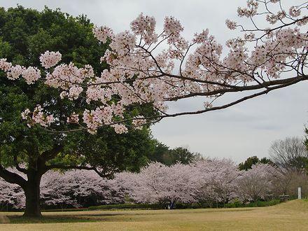 森林公園の桜1