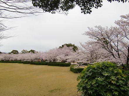 森林公園の桜3