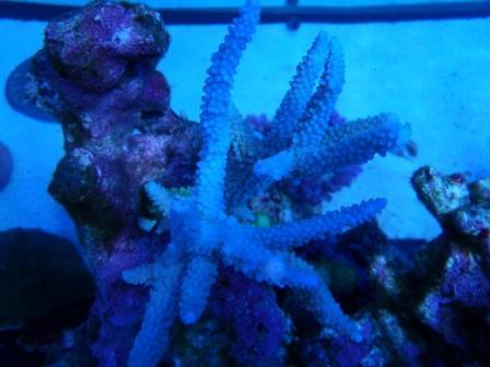 acropora ice blue