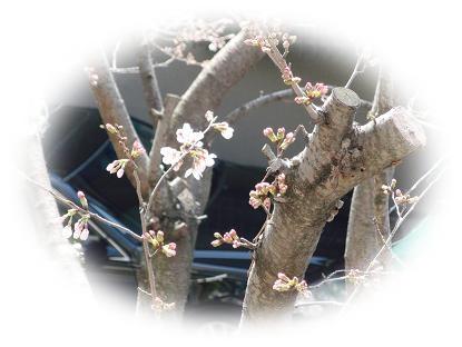 0322桜2