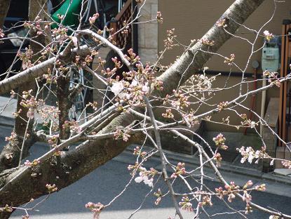 0322桜