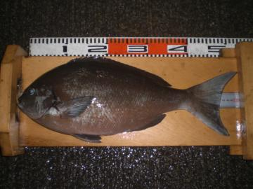 尾長 51cm:2,06kg