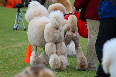 Standard Poodle One Da Full Party East
