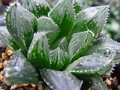 オブツーサ交配種 2009.12