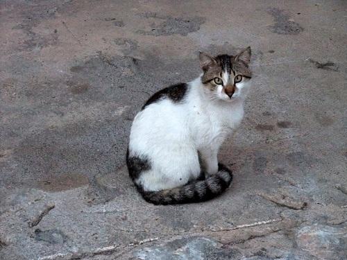 アレオポリの猫さん (2)