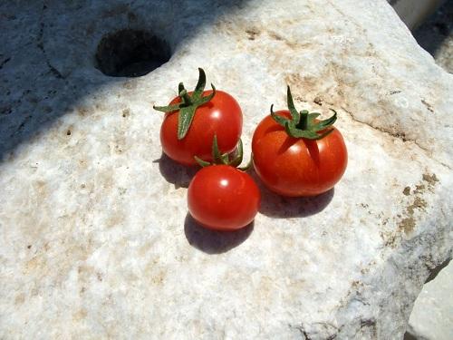 もらったトマト