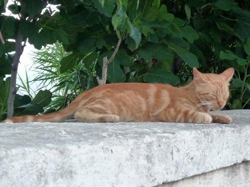 イカリア_アギオス・キリコスの猫さん (1)