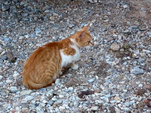 イカリア_アギオス・キリコスの猫さん (2)