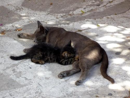 シロス_エルムポリの猫親子