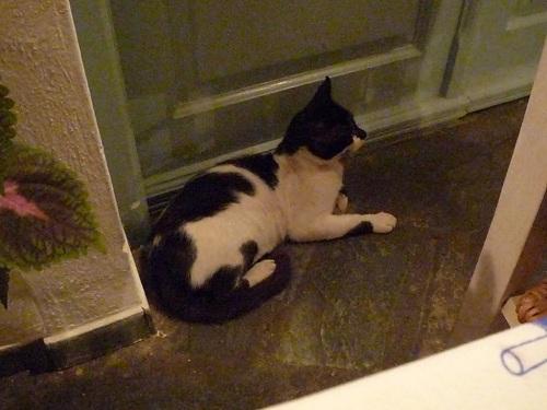 アスティパレア_スカラの猫さん