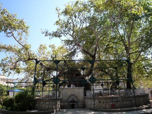 ヒポクラテスのプラタナスの木