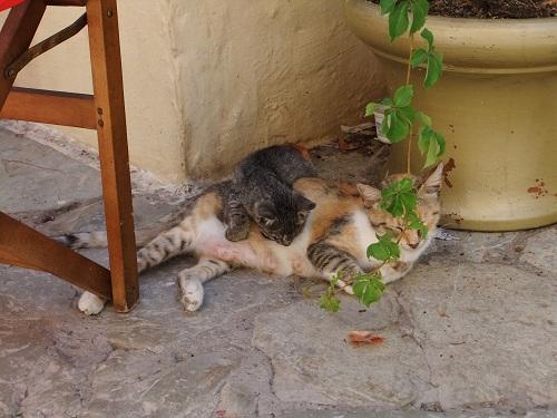 シミ_カリ・ストラータの猫さん (1)