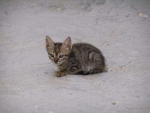 シミ_ホリオの子猫 (2)