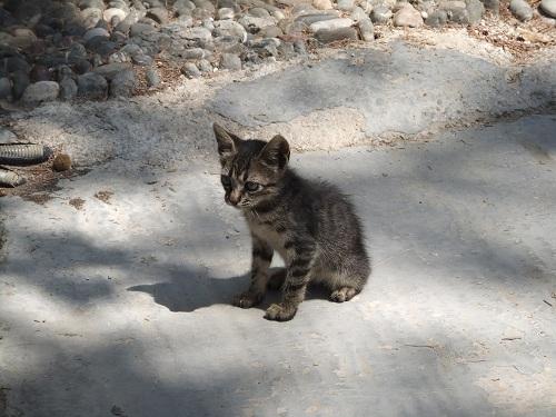 ティロス_パンテレイモナス修道院の猫さん (1)