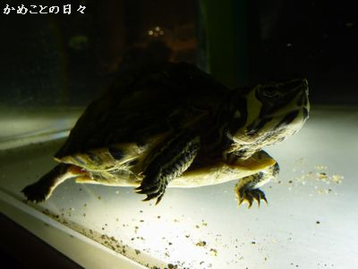 P1090538-kibara.jpg