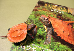 琉球山亀幼体